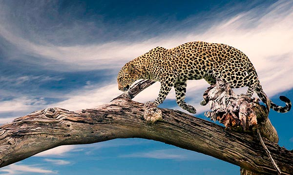 Leopard in the Sky