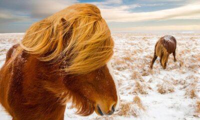 Pepe_Soho_Icelandic_Horse