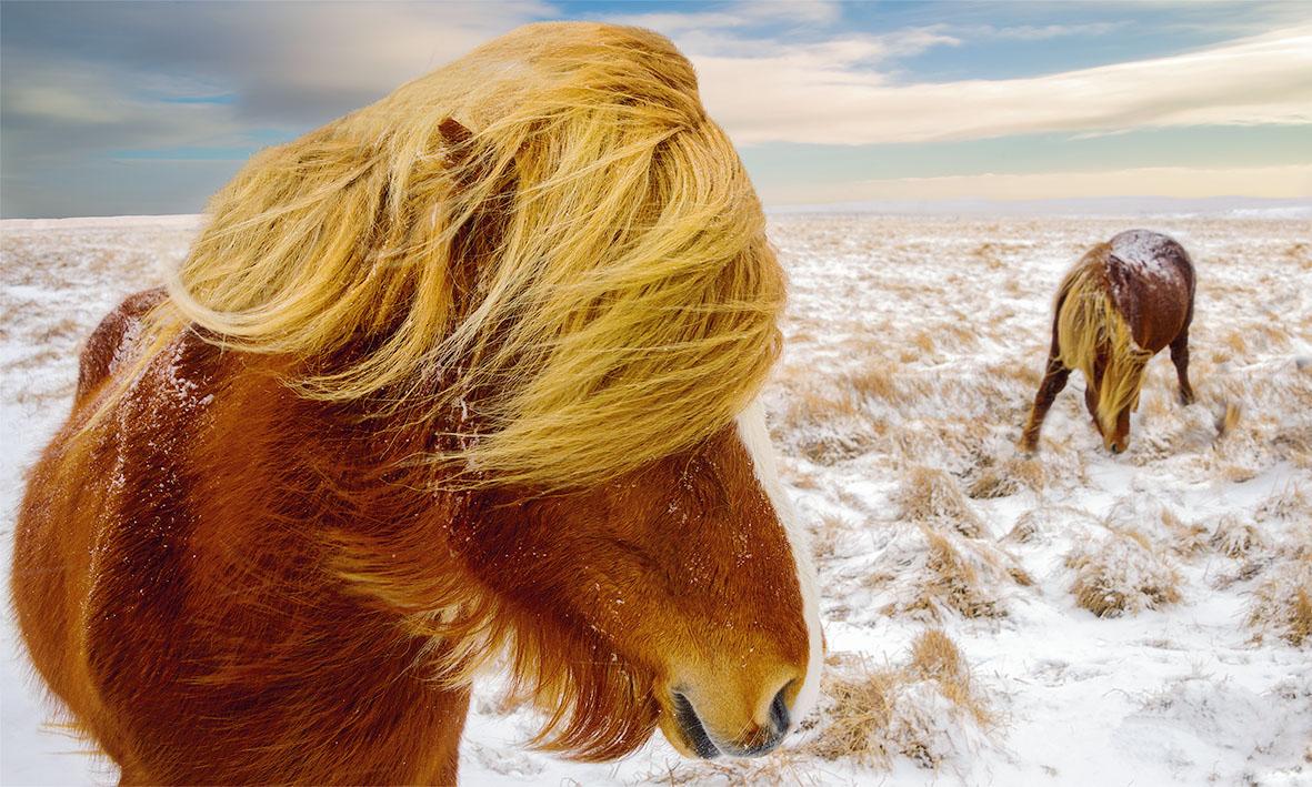 Pepe Soho - Icelandic Horses